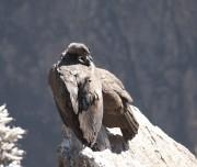 Condors Pass at Colca Canyon