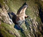 Condors at Colca Canyon